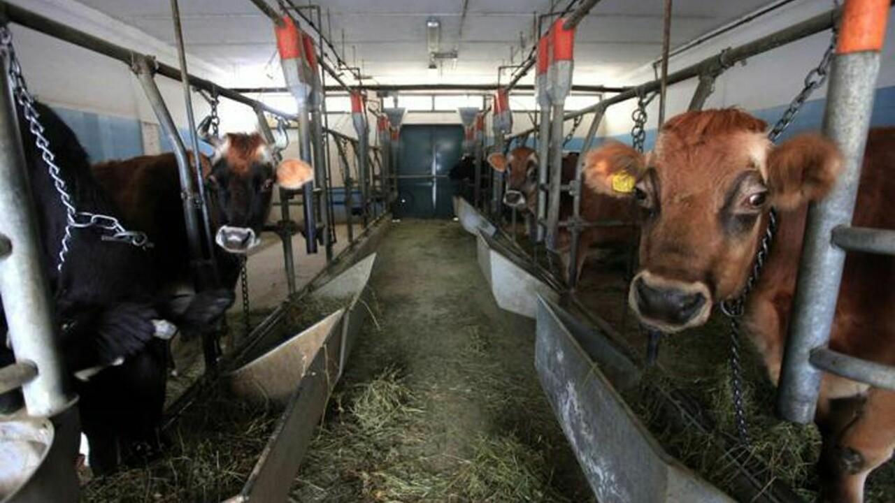 Bovini col letame alle ginocchia e vitelli malati: in provincia l'allevamento degli orrori