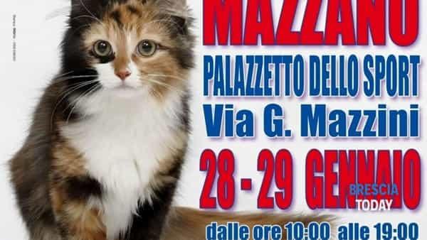"""Mazzano: esposizione internazionale felina """"I gatti più belli del mondo"""""""